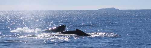 Whale watching in Coffs Harbour